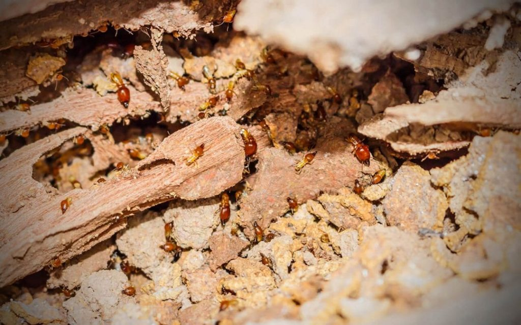 termites in your home